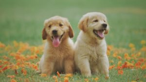 acquiring two puppies at the same time