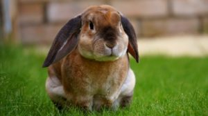 The Rabbit – An Exotic Pet with Behaviour Problems