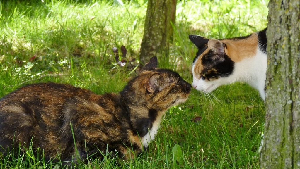 Introducing a New Cat to a Resident Cat