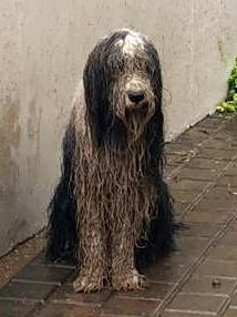 Dog George Before Grooming